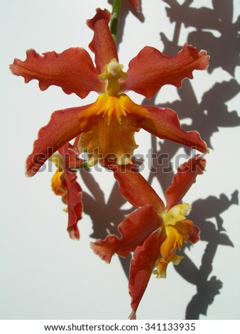 Closeup on red orchids with orange center petals - stock photo