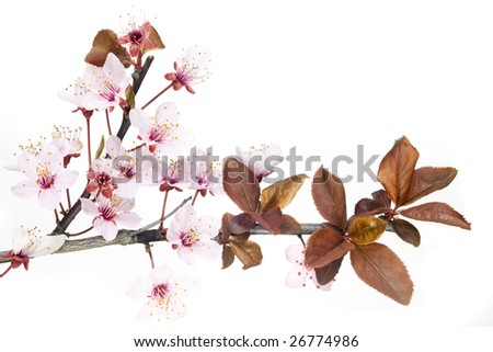closeup on red plum tree blossom isolated on white