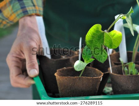 closeup on seedling leaf in growing pots holding by a man  - stock photo