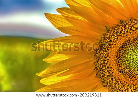 Closeup on sunflower blossom on a sunny day. - stock photo