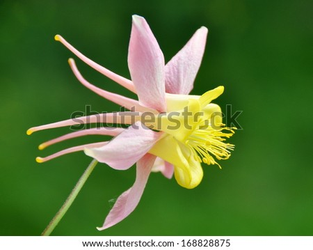 Closeup on yellow and pink Columbine flower - stock photo