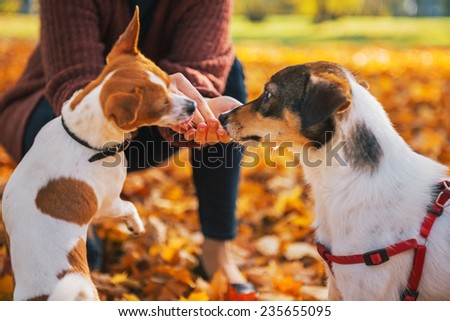 Closeup on young woman feeding dogs outdoors in autumn - stock photo