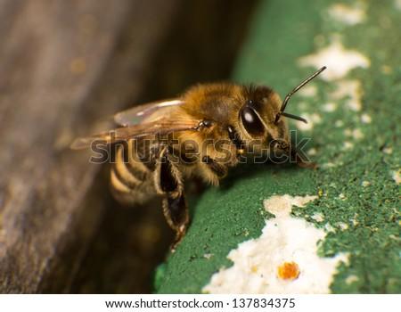 Closeup or macro photo of a bee at beehive - stock photo