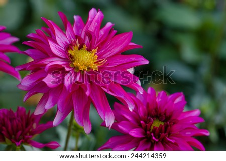 Closeup orange dahlia flower in garden - stock photo
