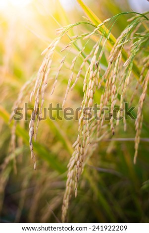 closeup Paddy rice in the rice field - stock photo
