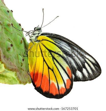 Closeup Painted Jezebel butterfly isolated on white background.(Deilas hyparete) - stock photo