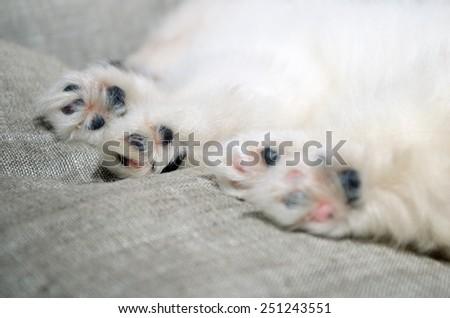 closeup paws of sleeping Pomeranian puppy. focus on the paw - stock photo
