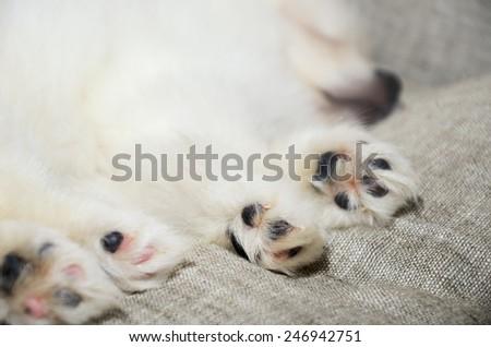 closeup paws sleeping Pomeranian puppy. focus on the paw. horizontal - stock photo