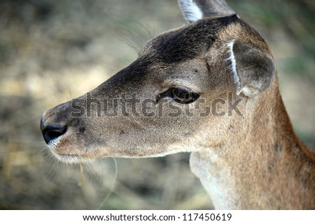 Closeup photo about a roe deer's head in the nature. - stock photo