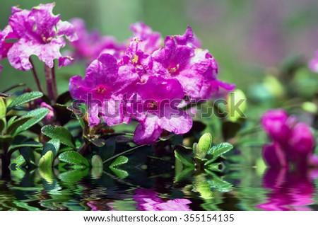 Closeup photo of a beautiful pink Pink Rhododendron - stock photo