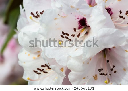 Closeup photo of a beautiful Rhododendron - stock photo