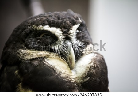 Closeup photo of a beautiful Spectacled owl bird. The spectacled owl  is a large tropical owl native to the  forests from southern Mexico, Trinidad,  Brazil, Paraguay and Argentina. - stock photo