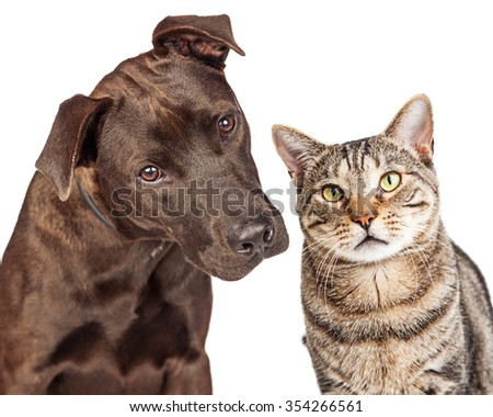 Closeup photo of a cute young Labrador Retriever crossbreed dog and a pretty tabby cat together - stock photo