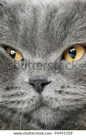 Closeup photo of a quiet British cat. White  background - stock photo