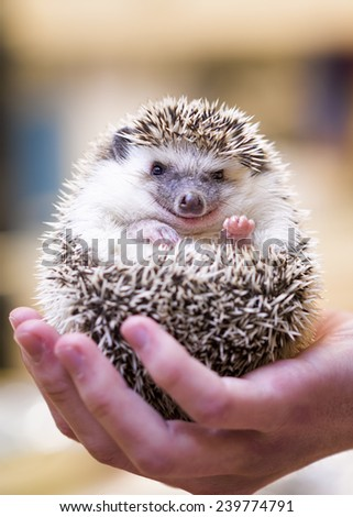Closeup photo of a small hedgehog being held in the palm of a young man - stock photo