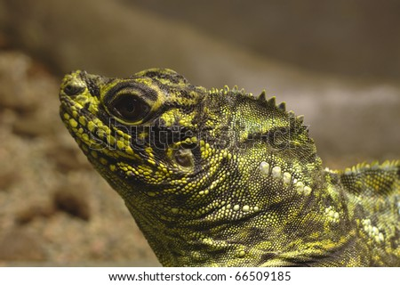 Closeup photo of a yellow and black lizard head - stock photo