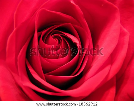 closeup photo of beautiful red rose flower - stock photo