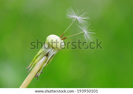 Closeup photo of dandelion seeds on green background - stock photo