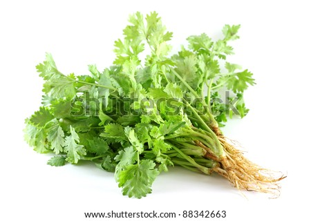Closeup photo of fresh coriander / cilantro (Leaves & Roots) on white background - stock photo