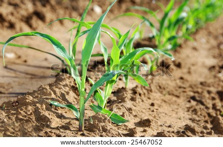 Closeup photo of healthy young maize plants on the field - stock photo