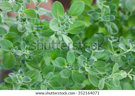 Closeup photo of home grown Marjoram in the garden - stock photo