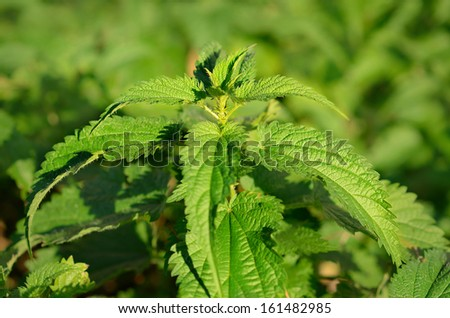 Closeup photo of nettle plant in the forest  - stock photo