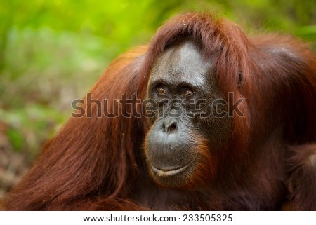 Closeup photo of Orangutan's face in south Borneo Indonesia. - stock photo