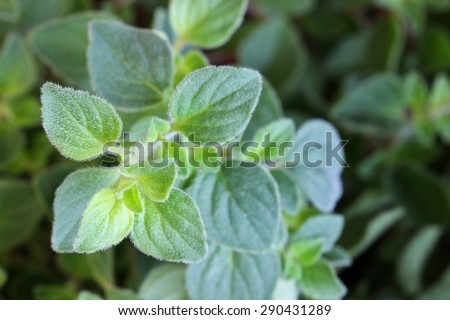 Closeup photo of Oregano in the garden - stock photo