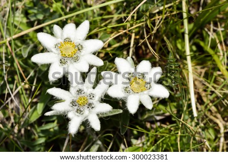 Closeup photo of the  Edelweiss flower. - stock photo
