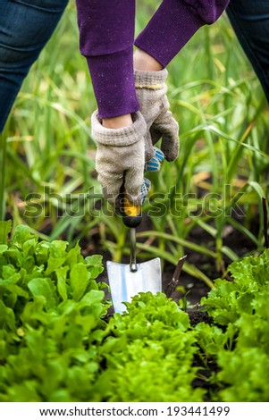 Closeup photo of woman in gloves working with small shovel on garden bed with lettuce - stock photo