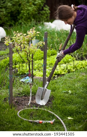 Closeup photo of woman planting apple tree at garden - stock photo