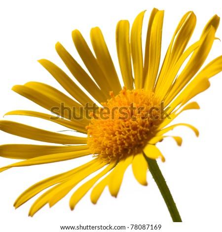 Closeup photo of yellow arnica - stock photo