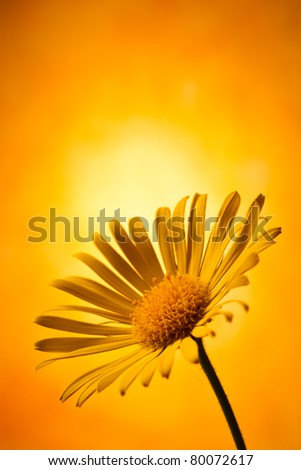 Closeup photo of yellow arnica - stock photo