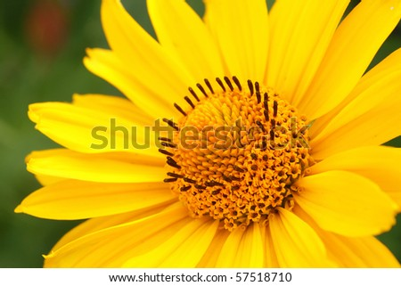 Closeup photo of yellow arnica flower in the garden - stock photo