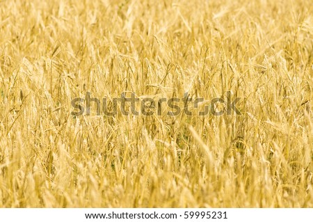 Closeup photo of yellow wheat stalks and field