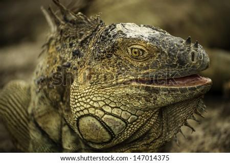 Closeup photograph of a mature green iguana. - stock photo