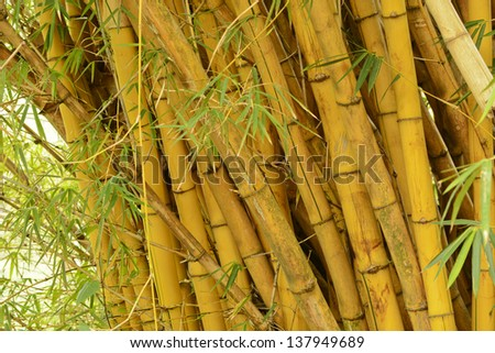 Closeup photography of a grove of wild bamboo in Costa Rica - stock photo