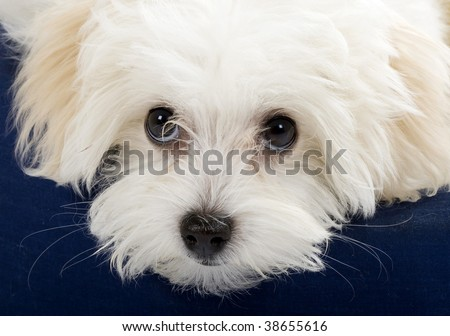 closeup picture of a bichon cute eyes. it sits on a puppy bed - stock photo