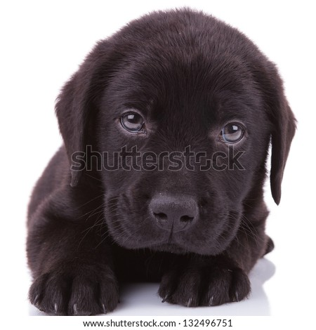 closeup picture of a black labrador retriever puppy dog looking into the camera - stock photo