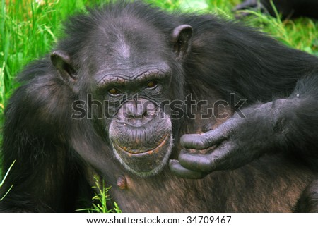 Closeup picture of a Common Chimpanzee at rest