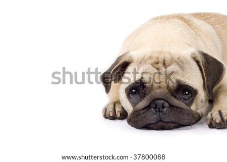 closeup picture of a cute pug with sad eyes. copyspace available - stock photo