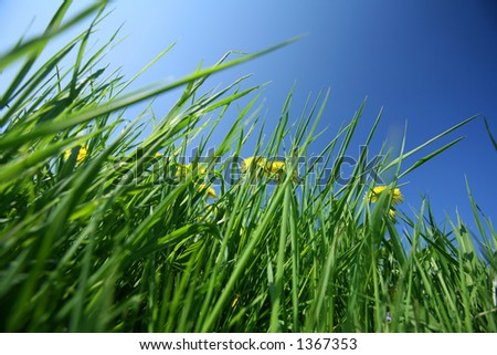closeup picture of a dandelion  yellow flower among grass and blue sky