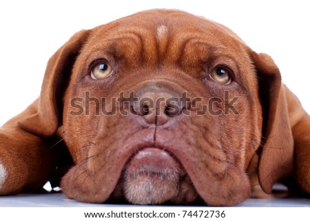 closeup picture of a french mastiff's sad eyes - stock photo