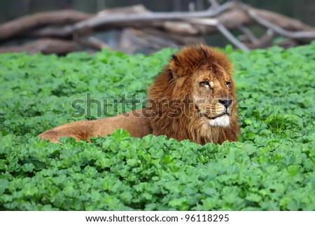 Closeup picture of a male lion resting in the grass - stock photo