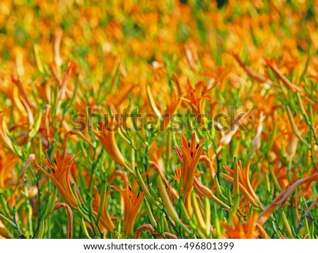 Closeup Picture of Orange Daylily