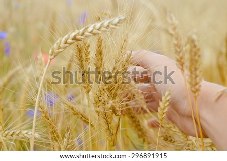 Closeup picture on hand in the field of wheat on summer day outdoors copy space background  - stock photo