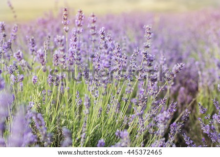 Closeup picture purple lavender field