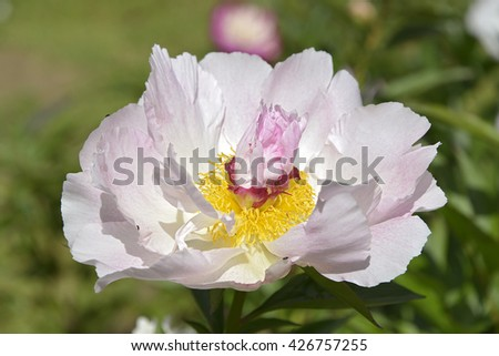 Closeup pink and yellow Chinese peony flower (Paeonia lactiflora)  - stock photo