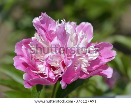 Closeup pink Chinese peony flower (Paeonia lactiflora) on green background - stock photo