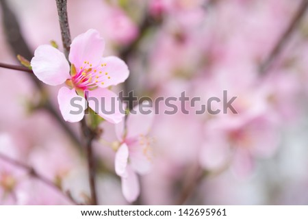 closeup pink spring blossom in Canada, magical soft dreamy image - stock photo